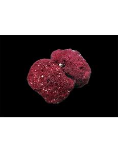 """Коралл """"Красный органчик"""" от 600 руб."""