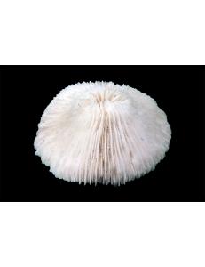 """Коралл """"Грибовидный"""", """"Mushroom"""" от 600 руб."""