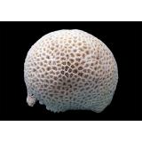 "Коралл ""Мозговик"", ""Brain"" от 1125 руб."