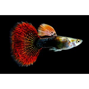 Аквариумная рыбка Гуппи. Особенности содержания, ухода