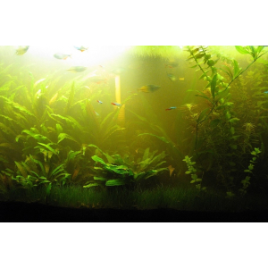 Вода в аквариуме зазеленела