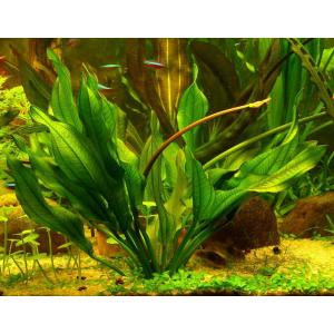 Выбор, посадка и уход за аквариумными растениями