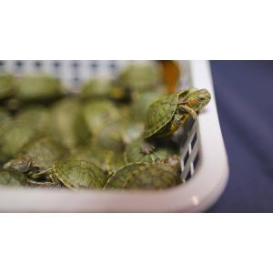 Что едят красноухие черепахи в домашних условиях?