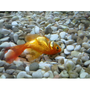 Почему и что делать если рыбка лежит на дне аквариума?