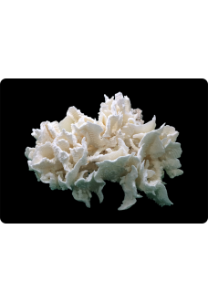 "Коралл ""Морская капуста"", ""Letuce"" от 1125 руб."