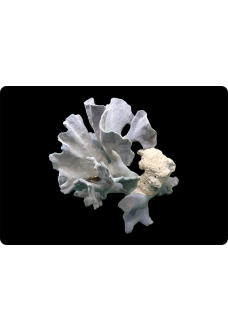 "Коралл ""Голубой"", ""Blue"" от 2390 руб."