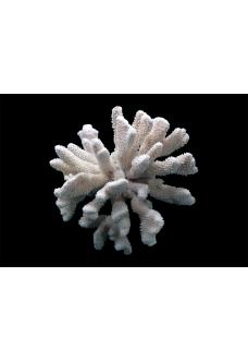 "Коралл ""Цветная капуста"", ""CaulIflower"" от 3910 руб."