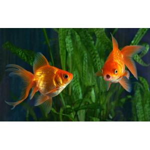 Содержание и уход за золотыми рыбками